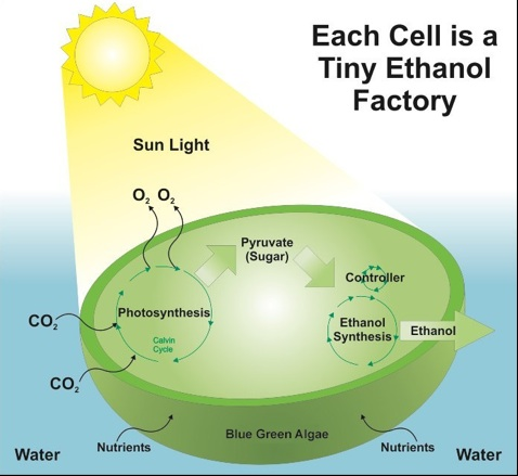 An algae cell uses sunlight, carbon dioxide, and water to produce ethanol energy.