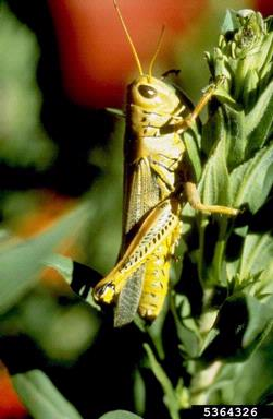 ARS researchers have discovered that grasshoppers can transmit vesicular stomatitis virus from rangeland plants to livestock. (Photo courtesy of Whitney Cranshaw, Colorado State University, Bugwood.org.)